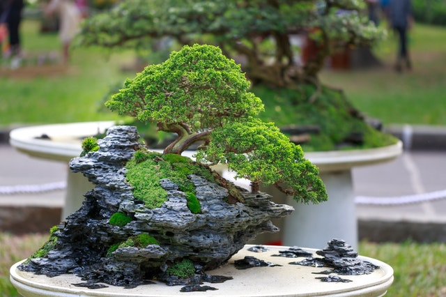 Bonsai voor beginners